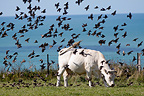 Flight of Starlings above a cow Normandy France