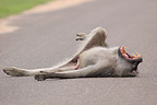 Chacma baboon male yawning lying on the road Kruger� (Chacma Baboon)