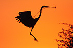 Goliath Heron constructing his nest at sunrise Kruger�NP (Goliath Heron)