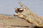 Nile crocodile eating another adult Crocodile Kruger�NP (Nile Crocodile )