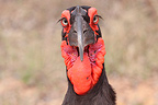 Portrait of Southern Ground-Hornbill Kruger NP South Africa� (Southern Ground-Hornbill)