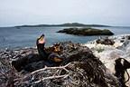 Cormorants nesting on  Shore Eastern Rocks Miquelon (Cormorant)