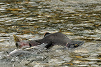 Chinook salmon run Skagit River Cascades NP USA (Chinook salmon)