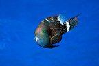 Wrasse swimming in Tahiti (Wrasse)