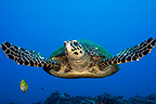 Hawksbill Turtle in Tahiti in Polynesia (Hawksbill sea turtle)