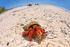 Strawberry Land hermit crab Fakarava in French Polynesia