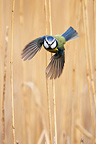 Bue Tit in flight in a reed bed GB (Blue tit)