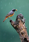 Redstart standing on branch when raining with preys in bill (Redstart)