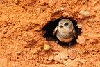Sand Martin coming out its nest GB (Sand Martin)