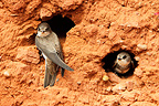 Sand Martins at their nest entrance GB (Sand Martin)