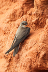 Sand Martin standing at nest entrance GB (Sand Martin)