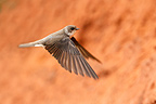Sand Martin in flight going back to the nest GB (Sand Martin)