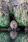 Water vole standing at water edge GB (European water vole)
