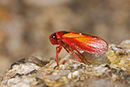 Leaf Hopper on rock Andes Peru