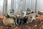 Group Wild Boars resting in the forest in autumn (Wild boar)