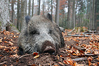 Wild Boar resting in a beech forest in autumn (Wild boar)