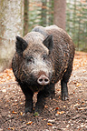 Big male Wild Boar standing in a beech forest in autumn (Wild boar)