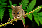 Wood Mouse on a twig France (Long-tailed field mouse)