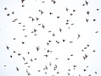 Great winter migration of Bramblings in the sky Spain (Brambling)