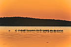Flamingos at dawn Etang de Bages-Sigean France (Greater Flamingo)