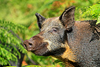 Portrait of a Wild Boar in Scotland  (Wild boar)
