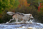 Grey wolf walking in a river in Minnesota USA (Grey wolf)