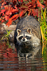 Raccoon in a river Minnesota USA (Raccoon)