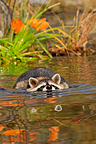 Raccoon swimming in a river Minnesota USA (Raccoon)