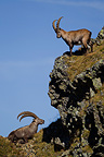 Ibex males on rocky ledge Valais Alps Switzerland (Ibex)