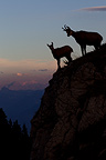 Silhouette of Chamois and young at dusk Jura Switzerland (Chamois)