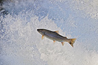 Lake trout crossing a waterfall Vaud Switzerland (Lake Trout )