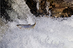 Trout lake crossing a waterfall Vaud Switzerland (Lake Trout )