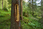 Black Woodpecker hole in the trunk of a tree Swiss Alps