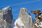 Ibex female on rochs Valais Alps Switzerland� (Ibex)