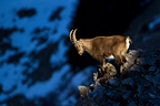 Young Ibex male on rocks Valais Alps Switzerland� (Ibex)