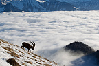 Ibex male in rut and sea of clouds Valais Alps Switzerland� (Ibex)