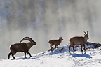 Ibex male in rut female and young Valais Alps Switzerland� (Ibex)