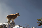 Young Ibex on rocks Valais Alps Switzerland� (Ibex)