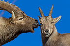 Couple of Alpine Ibex in rut Valais Switzerland� (Ibex)
