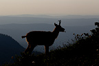 Silhouette of Chamois at dusk Jura Vaud Switzerland (Chamois)