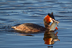 Great Crested Grebe with Roach on water Switzerland (Great Crested Grebe)