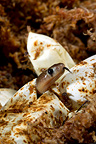 Birth of a Samar Cobra�2/5