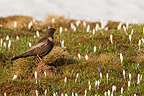 Ring Ouzel in a field of Crocus Switzerland (Ring Ouzel)