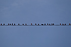Starlings on a wire Vaud Switzerland  (Starling)