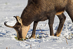 Chamois scraping the snow to graze Jura Vaud Switzerland (Chamois)