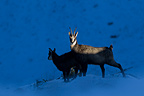 Chamois and young at dusk Jura Vaud Switzerland� (Chamois)