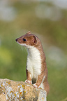 Young Ermine on a rock Swiss Alps (Ermine)