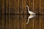 Great Egret in front of a reedbed Lake Neuchatel Switzerland� (Great Egret)
