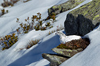 Rock ptarmigan on a mossy rock Alps Valais Switzerland (Rock Ptarmigan)