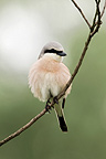 Red-backed Shrike on a branch Hungary� (Red-backed Shrike)